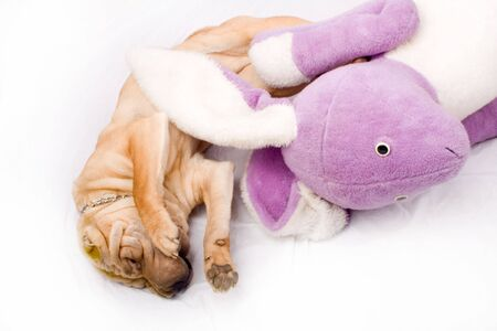Sharpei dog playing with a toy photo