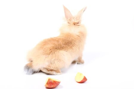 young red rabbit with apple photo