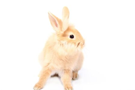 Curious young red rabbit isolated on white background photo