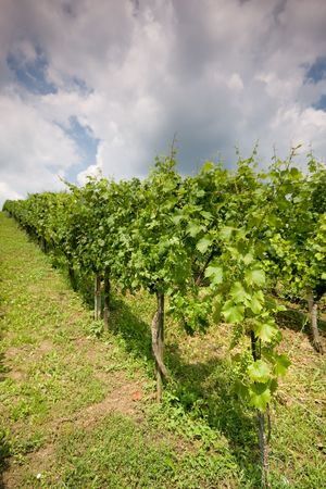 Rows of grapevines photo