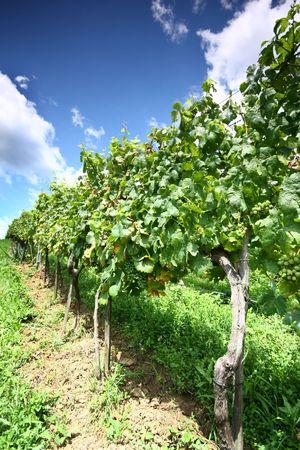 grapevines photo