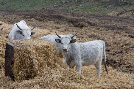 bovidae: hungarian gray cows