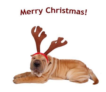 merry christmas text: sharpei perro weaing asta - con texto de merry christmas
