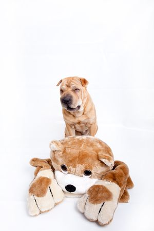 Sharpei dog with a toy  photo