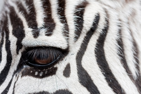 zebra face to face -detail with eye photo
