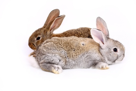 snooping: young rabbits over white background