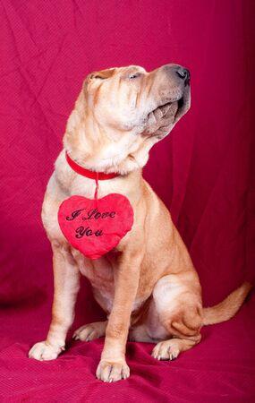 Valentine sharpei dog with heart photo