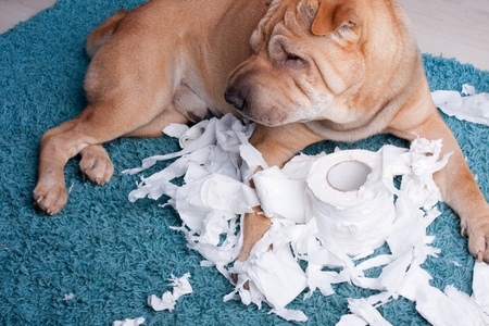 closeup puppy: sharpei dog with toilette paper Stock Photo