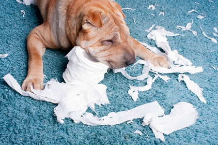 toilette: sharpei dog with toilette paper Stock Photo