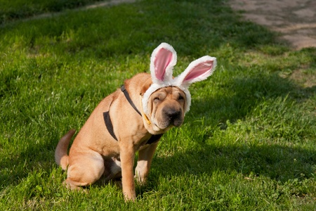 sharpei dog wearing easter rabbit ears photo