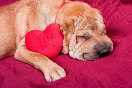 Valentine sharpei dog with heart Stock Photo - 12200396