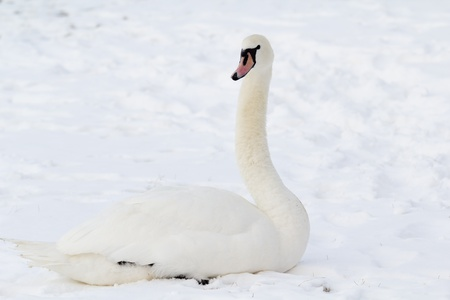 beautiful white swan in snow photo