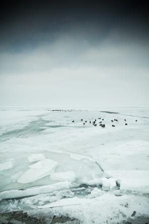 lots of wild ducks in winter Stock Photo - 12668095
