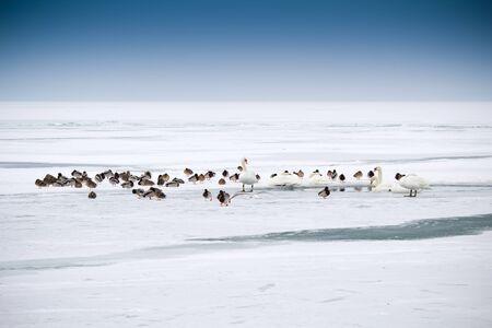 lots of wild ducks in winter Stock Photo - 12668101