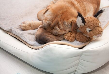 sleeping sharpei dog with toy photo