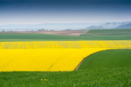 Yellow field rapeseed in bloom Stock Photo - 13711770