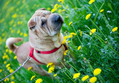 Sharpei dog resting in the grass with yellow flowers photo