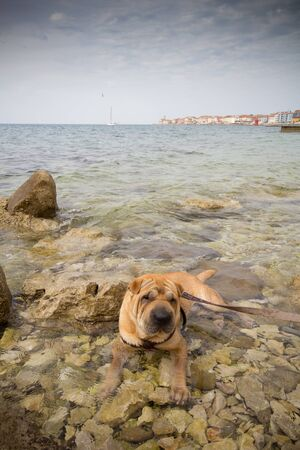 sharpei dog relaxing in sea photo