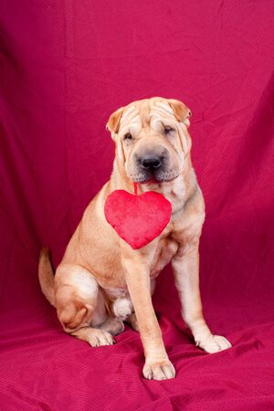 Valentine sharpei dog with heart Stock Photo - 17749144