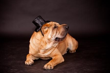 Elegant Sharpei dog waring stovepipe in studio photo