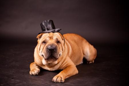 stovepipe: Elegant Sharpei dog waring stovepipe in studio
