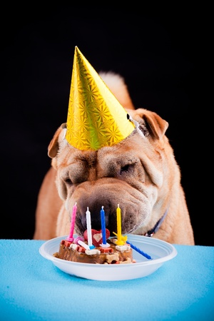 beautiful sharpei dog celebrating birthday photo