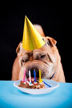 schöne sharpei Hund feiert Geburtstag