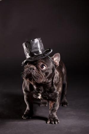 french bulldog wearing stovepipe in studio photo