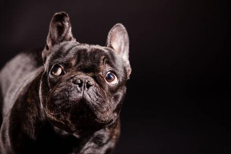 dog puppy french bulldog on a dark background photo