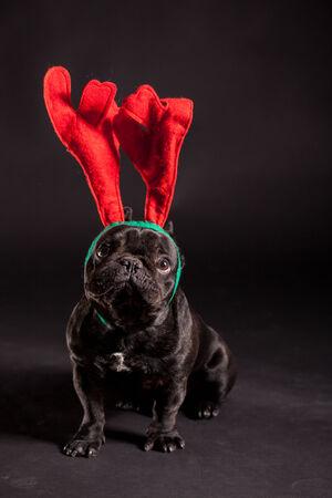 french bulldog wearing antler for christmas