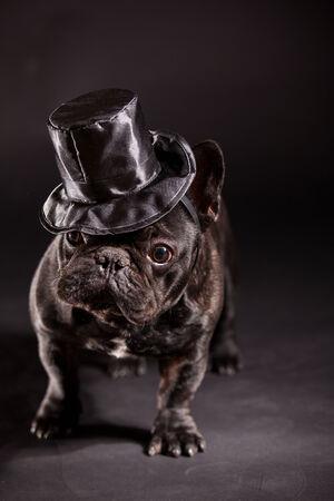stovepipe hat: french bulldog wearing stovepipe in studio