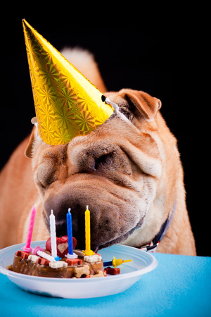 sharpei: beautiful sharpei dog celebrating birthday Stock Photo