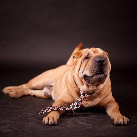sharpei: Elegant Sharpei dog in studio