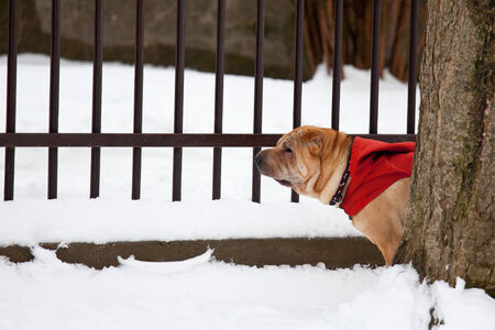 sharpei: beautiful sharpei dog in snow Stock Photo