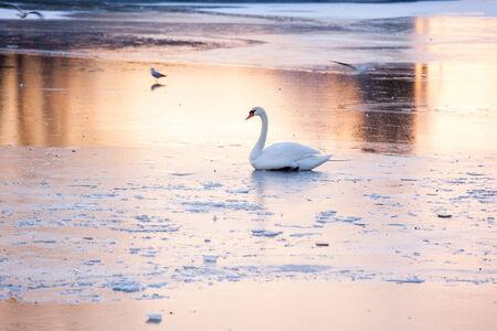 frozen lake: Swan on a frozen lake