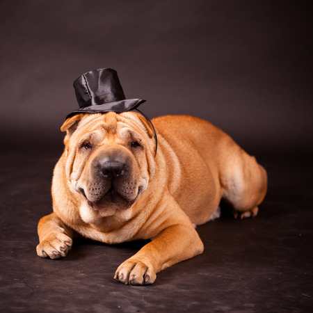 stovepipe hat: Elegant Sharpei dog waring stovepipe in studio