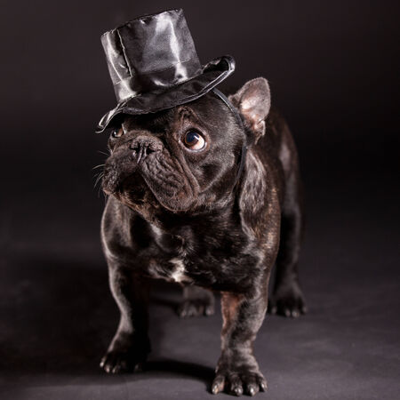stovepipe hat: french bulldog wearing stovepipe in studio