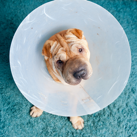 sharpei: sharpei dog wearing a protective veterinary collar after a surgical operation