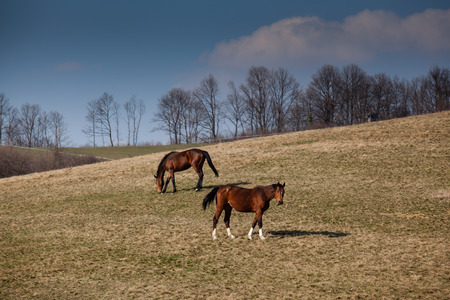 colorized: beautiful horses, colorized photo for old mood