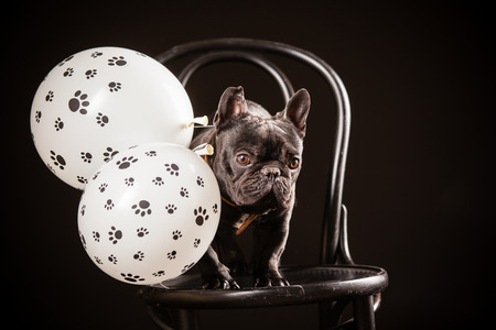 frenchie: french bulldog with birthday balloons