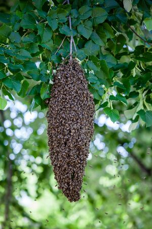 A swarm of bees on a tree photo
