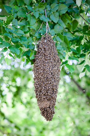 swarm: A swarm of bees on a tree