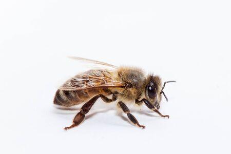 miel de abeja: abeja de la miel en el fondo blanco