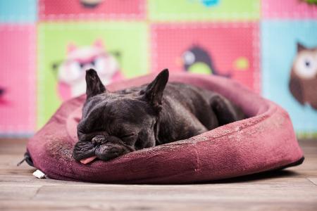 relajado: bulldog franc�s relaja en la cama