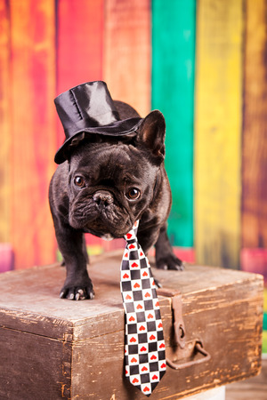 grooming: elegant french bulldog with necktie
