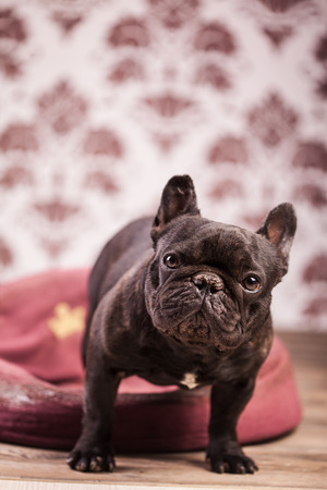 frenchie: french bulldog relaxing in bed