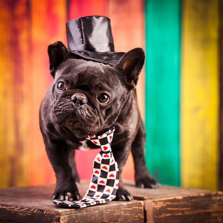 stovepipe hat: elegant french bulldog with necktie