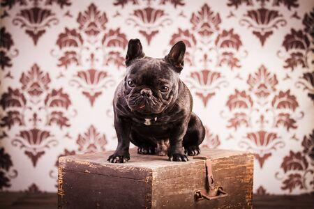 bulldog: bulldog franc�s sobre fondo vintage Foto de archivo