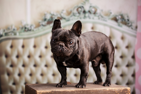 frenchie: french bulldog over vintage sofa