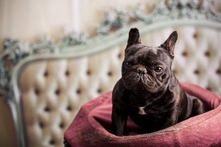 frenchie: french bulldog over vintage sofa